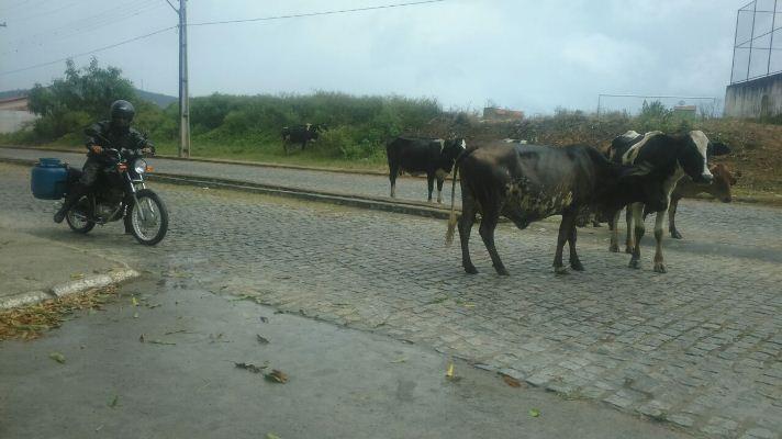 vaca solta 2